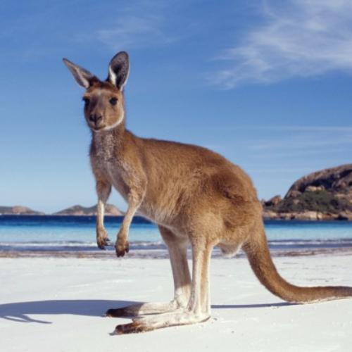 Kangaroo 1.jpg