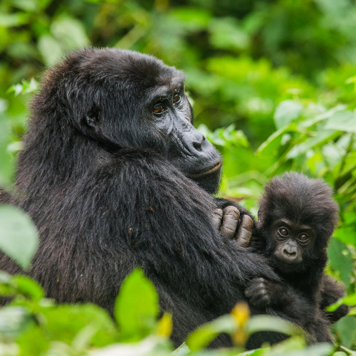 dreamstime_m_Mountain-Gorilla-with-Baby-Bwindi-Impenetrable-Forest-National-Park.jpg