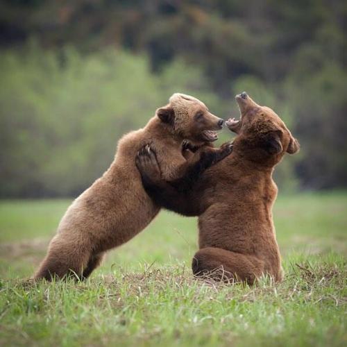 khutzeymateen-bears.jpg